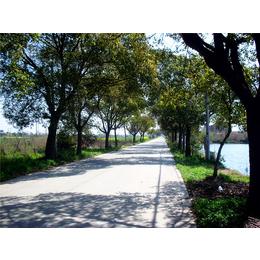 泡桐樹 造景綠化 城市綠化 園林景觀