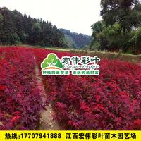 日本红枫三季红盆栽红枫红枫小苗三季红叶绿化苗木