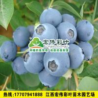 夏普蓝蓝莓小苗蓝莓苗供应