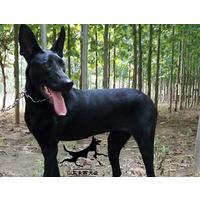 中华纯种黑狼犬多少钱