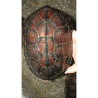 三黑棕红壳南种石金钱龟外池养殖质量高价格上涨快