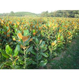 輝煌園林廣玉蘭種植價格