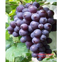 吉林出售葡萄苗 吉林京亚葡萄苗价格 早熟京亚葡萄苗