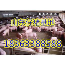 2016年山东三元仔猪价格行情走势仔猪多少钱一头
