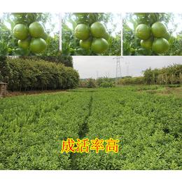 柳城哪里有皇帝柑苗销售
