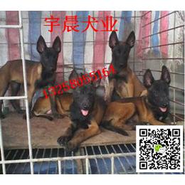 二三个月的小黑马犬多少钱 纯种黑马犬幼犬多少钱