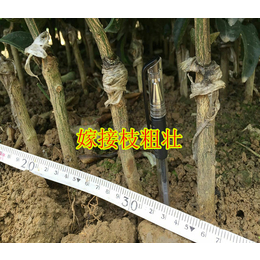 广西哪里有黄金柑橘苗销售