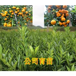 铜仁哪里有南瓜橘果树苗卖