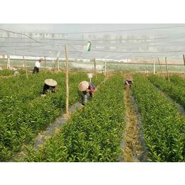 贵州哪里有马水桔果苗供应