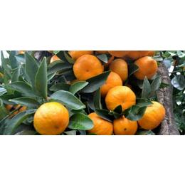 楚雄州哪里有南瓜橘果树苗批发基地