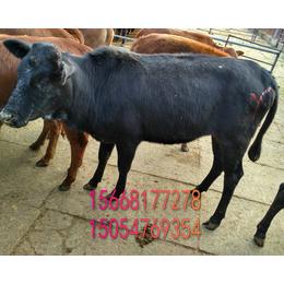 阿尔山200斤肉牛苗养殖