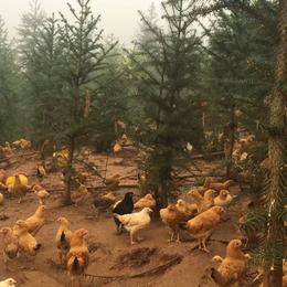 供应 林地散养土鸡绿源生态放养土鸡