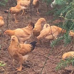 供应 绿源生态放养土鸡林地散养土鸡