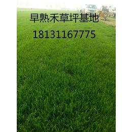 供应早熟禾绿化草坪草籽价格