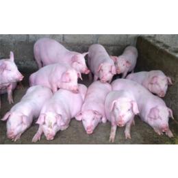 山东养猪场良种仔猪市场批发价格行情