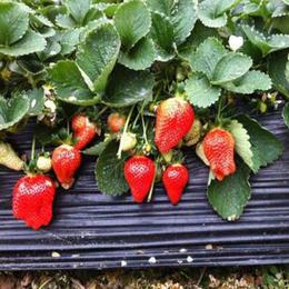 草莓苗_乾纳瑞农业科技欢迎您_全明星草莓苗