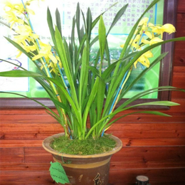 九江惠兰盆栽耐寒的品种