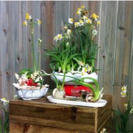 草本植物类水仙花盆栽