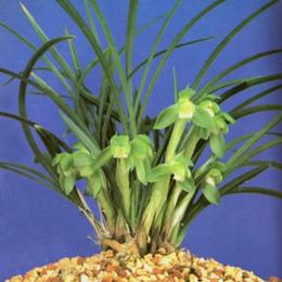 九江品种多样的兰花盆栽