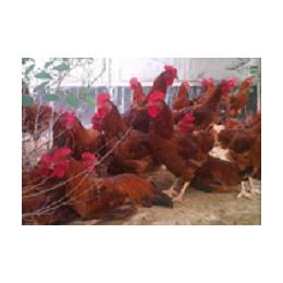 优质红玉公鸡养殖管理技术