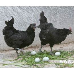五黑鸡苗 绿壳蛋鸡苗 五黑一绿鸡苗供应 包打疫苗 全国包邮