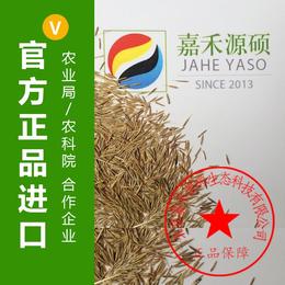 适合果园种的草 丨绿肥种子丨鼠茅草价格丨嘉禾源硕