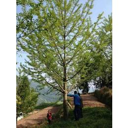 22公分银杏树价格、银杏树、通园银杏园林(查看)