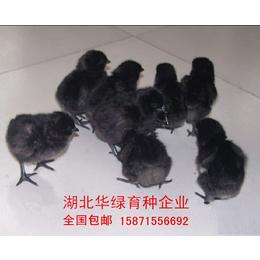 养殖绿壳蛋鸡 五黑鸡苗  农村特色养殖项目