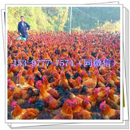 华蓥青脚麻鸡苗孵化厂价格疫苗