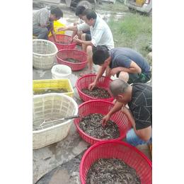 泥鳅苗养殖基地|太原泥鳅苗|有良水产养殖厂