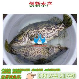 鲜活水产品<em>桂鱼</em>苗_广东桂花鱼苗_大量出售淡水鱼苗