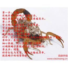 蝎子养殖基地加盟林全蝎子养殖
