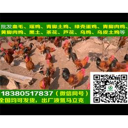 贵州B830鸡苗B830鸡苗批发商