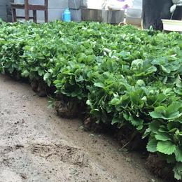 丰香草莓苗价格|草莓苗|乾纳瑞农业科技好品质