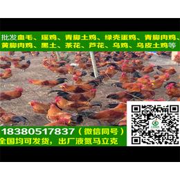 南京肉鸡苗青脚麻鸡麻A1鸡苗孵化场
