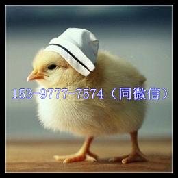 广安土鸡苗养殖成本批发基地