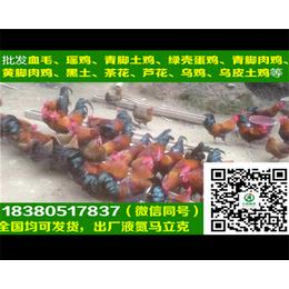 沧州五黑绿壳蛋鸡苗五黑绿壳蛋鸡苗饲料搭配