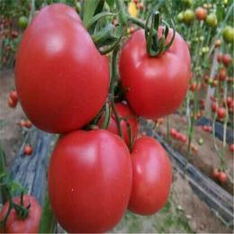 生态农产品 有机蔬菜食物  西红柿