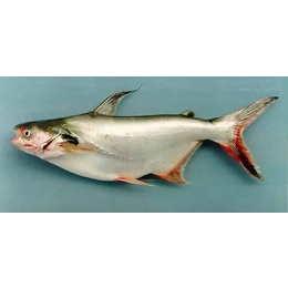 巴沙鱼有什么营养价值
