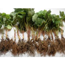 鹤壁草莓苗|乾纳瑞农业科技公司售|天香草莓苗