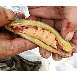 台湾大泥鳅种苗、有良水产养殖(在线咨询)、泥鳅种苗