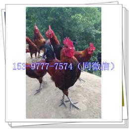简阳鸡苗价钱基地麦麸
