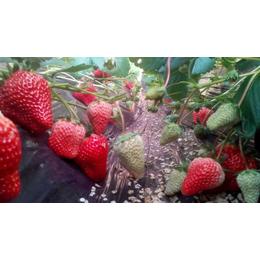 红颜草莓苗、草莓苗、乾纳瑞农业科技公司售