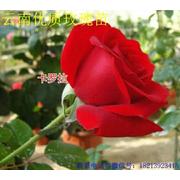 重庆市潼南区杜氏玫瑰月季种植基地