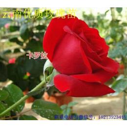 供应优质花卉玫瑰苗观赏玫瑰种苗卡罗拉无病虫害缩略图