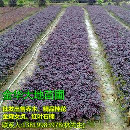 红花继木小苗基地|红花继木球|大地苗圃品种多样(查看)