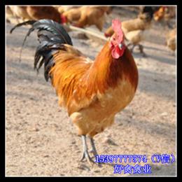 西藏鸡苗价钱公司脱温