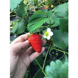 乾纳瑞农业、福建草莓苗、草莓苗的价格