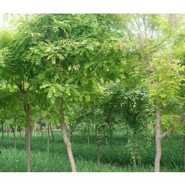 求购刺槐树苗价格-开封刺槐树苗-合绿家庭农场服务好
