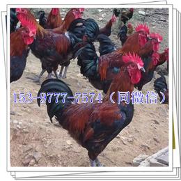 资阳鸡苗养殖成本啄肛